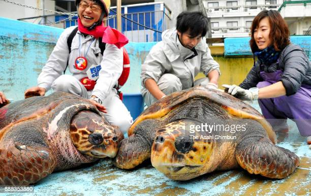 67yearold loggerhead sea turtle 'Hamataro' has his shell cleaned by staffs during the annual turtle shell dusting at Hiwasa Seaa Turtle Museum...