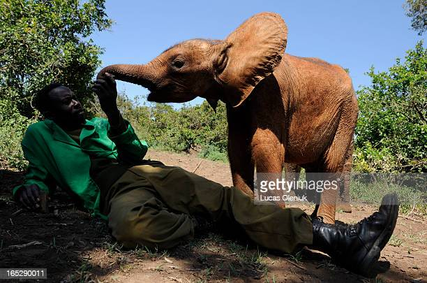 6monthold baby elephant Suguta looks for affection from her handler Benson inside of Nairoi National Park at the David Sheldrick Wildlife Trust...