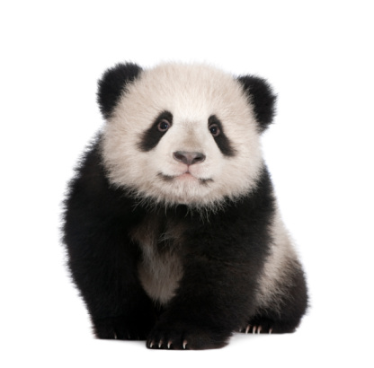 6-month-old Giant panda on a white background 93216888