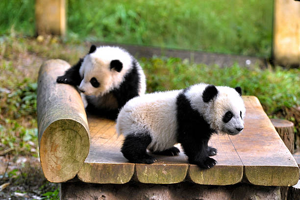 6-month-old giant panda twins play at the panda house of Chongqing Zoo