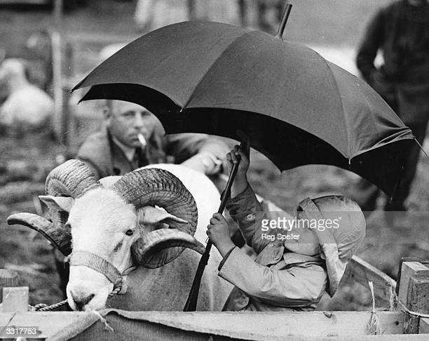Young child wearing a rainhat shelters a ram under a umbrella at Tring Agricultural Society Show in Rothschild Park, Tring, Hertfordshire.