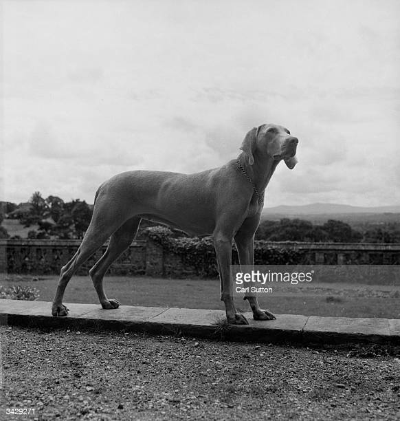 A Weimaraner dog one of the coveted hunting breed which originated in Weimar Germany Known as 'The Grey Ghost' for their shadowy colour and stealthy...