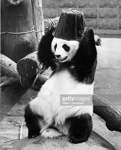 ChiChi the giant panda attempts to remove a rubber bucket from her head at London Zoo