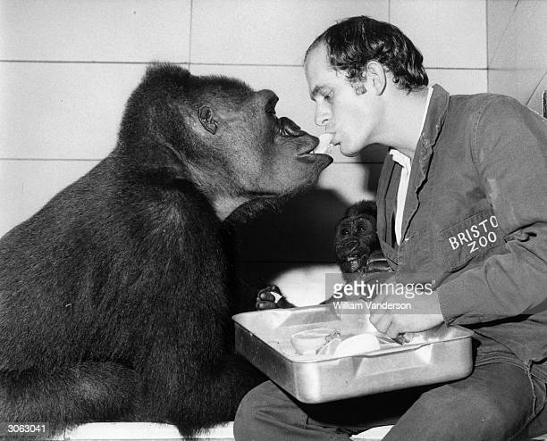 Michael Colbourne Head Keeper of the Ape House at Bristol Zoo feeding 'Delilah' the gorilla while the baby gorilla 'Daniel' looks on