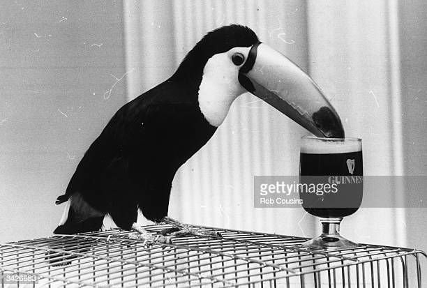 'Tookie' the toucan bird drinks from a glass of Guinness as part of an advertising campaign for the company