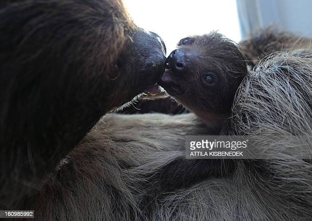 A 6week old sloth baby plays with its mother 'Banya' at the Budapest Zoo and Botanic Garden in the Hungarian capital on February 8 2013 The young...