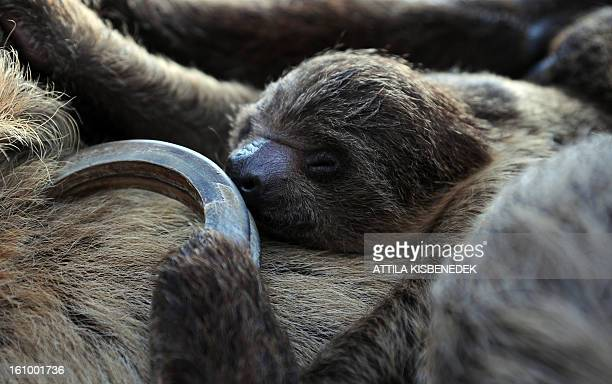 A 6week old sloth baby sleeps on its mother 'Banya' at the Budapest Zoo and Botanic Garden in the Hungarian capital on February 8 2013 The young...