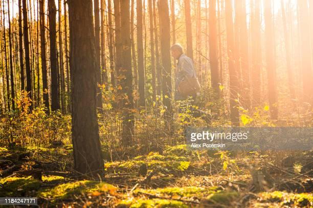 70-jarige senior actieve man met een houten mand wandelen door het jonge dennenbos op zoek naar wilde eetbare paddestoelen in het bos in de zonnige warme herfst dag. - 70 79 jaar stockfoto's en -beelden