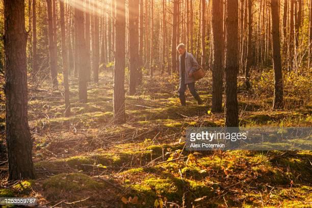 70-jaar-oude hogere actieve mens met een houten mand die door het jonge pijnboombos loopt dat wilde eetbare paddestoelen in het bos in de zonnige warme de herfstdag zoekt. - 70 79 jaar stockfoto's en -beelden