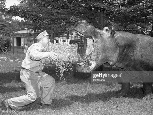 "New York, NY- Believed to be the oldest hippopotamus in the world, ""Pete,"" a native New Yorker who was born in the Central Park Zoo in 1903,..."