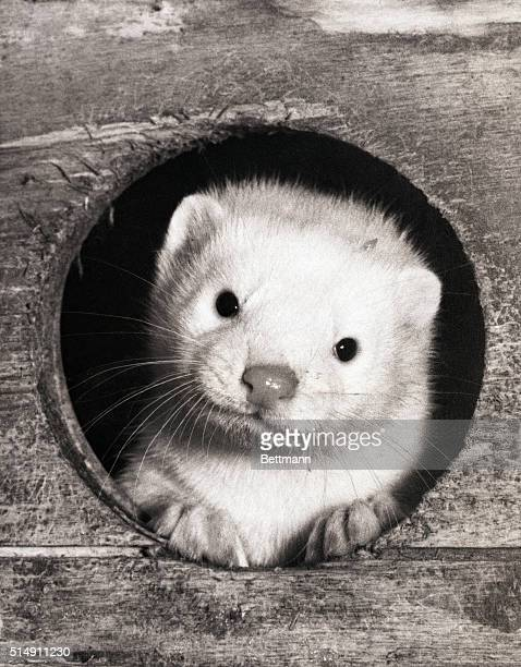 7/29/1957London England If this kittenishlooking animal wears a sad expression maybe it's because it has an inkling that it's destined to wind up as...