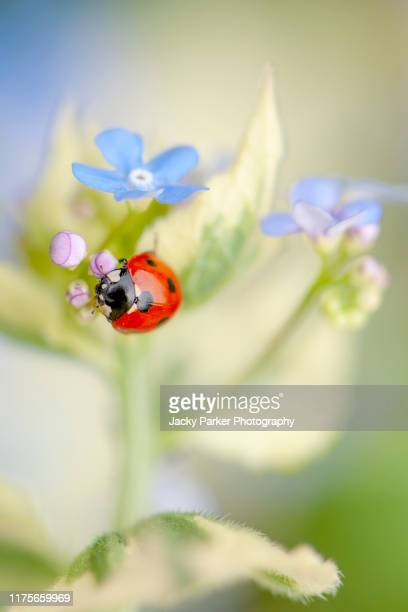 a 7-spot common ladybird, ladybug, ladybeetle - coccinella septempunctata resting on a forget-me-not spring flower - forget me not stock pictures, royalty-free photos & images
