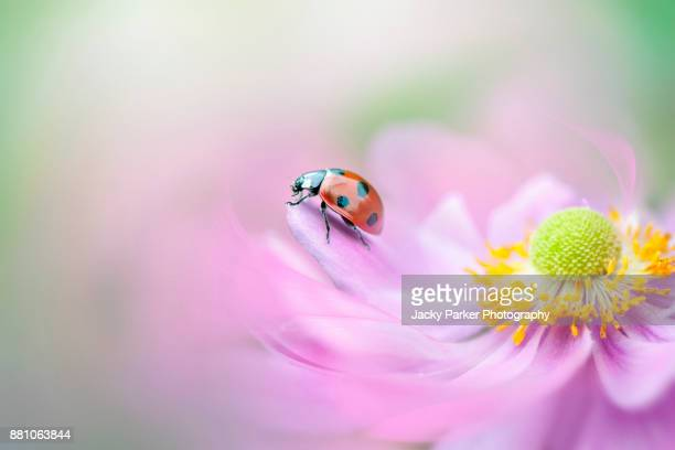 a 7-spot lady ird on the petals of a pink japanese anemone flower - ladybird stock pictures, royalty-free photos & images