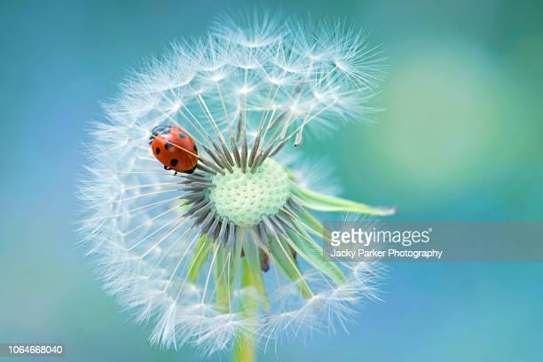 a 7-spot ladybird - coccinella septempunctata, resting on a single dandelion seedhead - seven spot ladybird stock pictures, royalty-free photos & images
