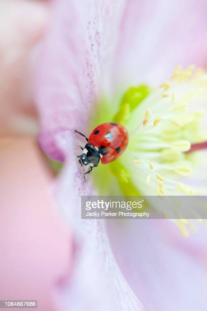 a 7-spot ladybird - coccinella septempunctata, resting on a spring hellebore pink flower also known as the lenten or christmas rose - christmas beetle stock pictures, royalty-free photos & images