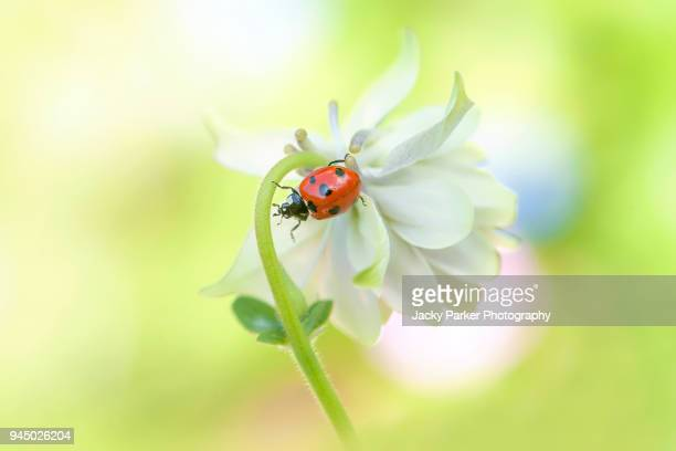 a 7-spot ladybird on a spring flowering aquilegia flower also known as columbine of granny's bonnet - seven spot ladybird stock pictures, royalty-free photos & images