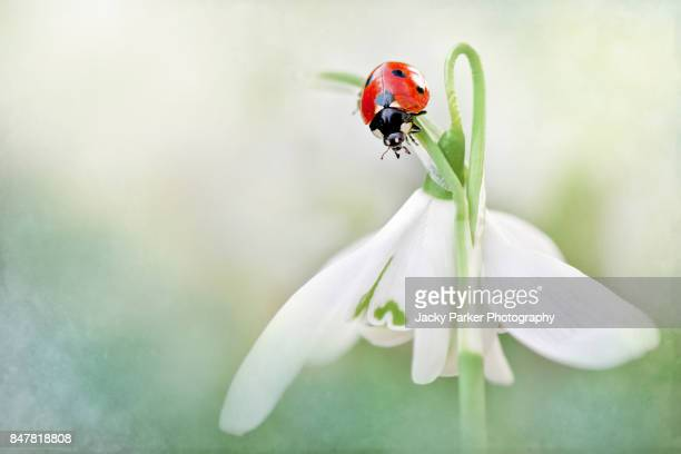 7-spot ladybird on a spring white snowdrop flower - ladybird stock pictures, royalty-free photos & images