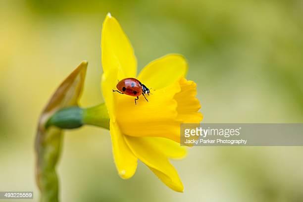 7-spot Ladybird on a yellow daffodil flower