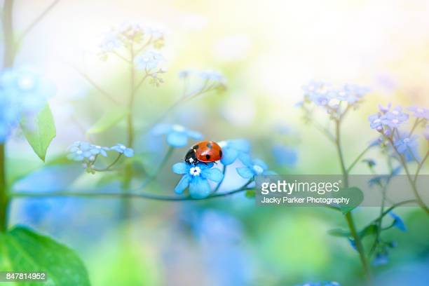 7-spot ladybird on blue spring forget-me-not flowers in the sunshine - seven spot ladybird stock pictures, royalty-free photos & images