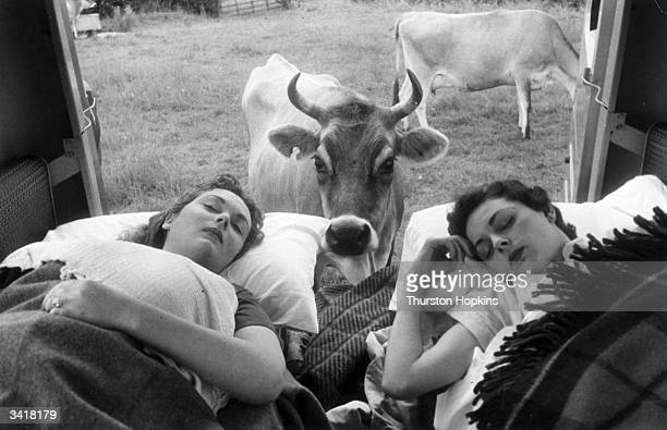 Two young women asleep in a Dormobile are about to be awoken from their slumber by a curious cow Original Publication Picture Post 7233 Two Girls And...