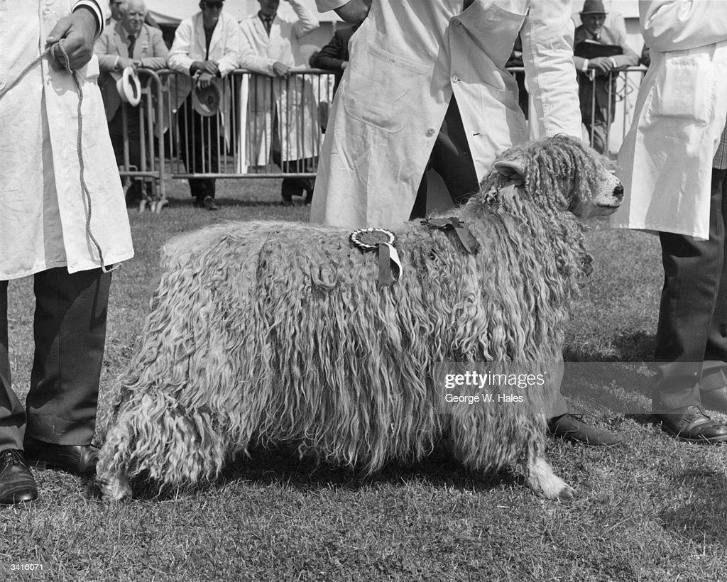 Prizewinning Sheep : News Photo