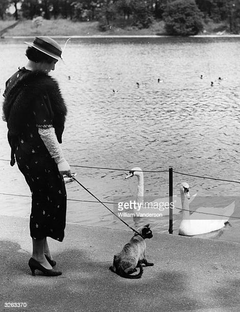 Mrs Walters, walking her Siamese cat Becky on a lead in Regent's Park, stops while Becky admires the swans.