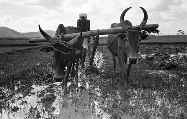 Cattle Plough