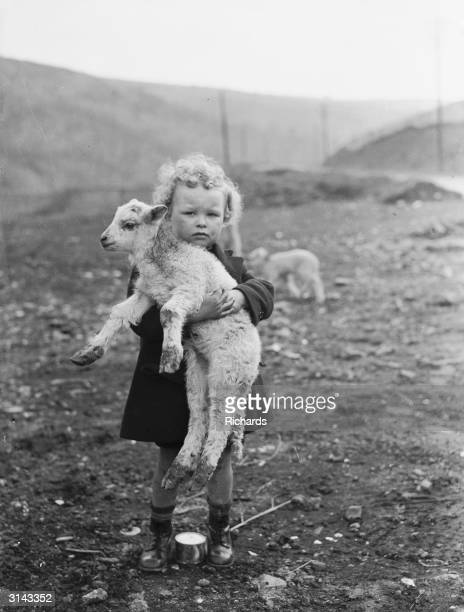 A young Welsh boy has adopted one of the new arrivals on a farm at Rhondda during the lambing season