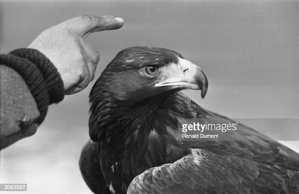 Goldie the Golden Eagle which escaped from London Zoo and entertained crowds in Hyde Park until it was recaptured