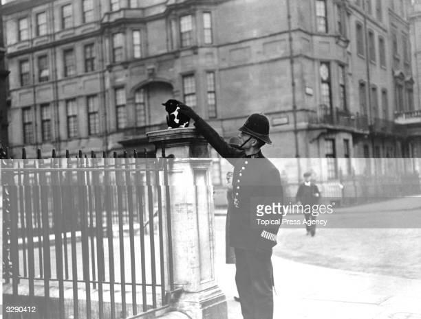 'Black William' the policeman's cat, Grosvenor Square, London, 1913.