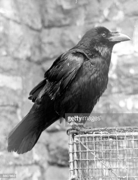 A closeup of one of the ravens at the Tower of London