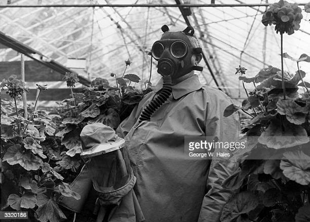Parks gardener Robert Whitley fumigating geraniums in one of the newly rebuilt greenhouses at Hyde Park Nurseries London which supplies 220000 plants...
