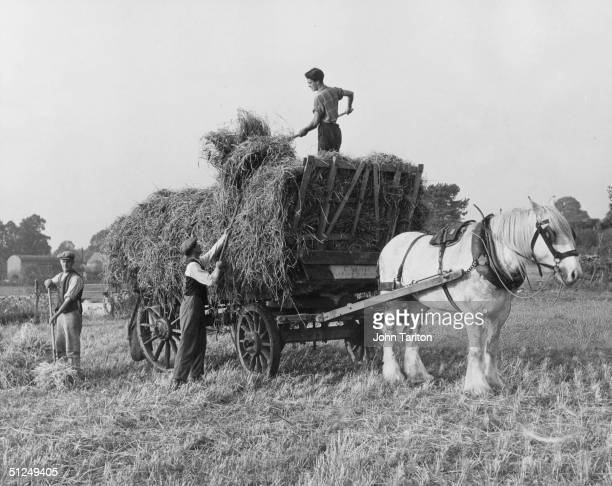 7th October 1953 Farm hands harvesting hay the old fashioned way at Glebe Farm Coates Gloucestshire