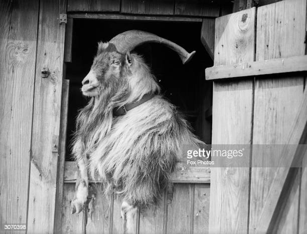 A large hirsute and majesticallyhorned goat leaning over the door of its stable