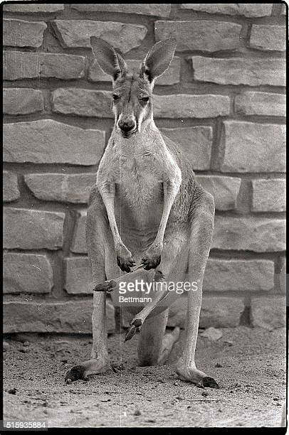 8/20/1982Columbus OH Maybe kangaroo mothers have the same problems as their human counterparts have If so it's possible this mom at the Columbus Zoo...