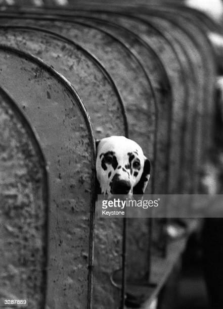 Dalmatian sticks his head outside one of the judging pens, at Crufts Dog Show, London.