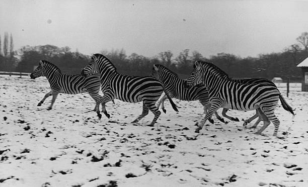 These zebras, whose natural habitat is Africa, seem...