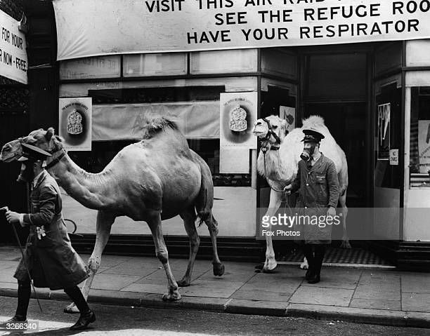 Camels from the Chessington zoo emerging from the Air Raid Precautions Department office in Surbiton where they were measured for gas masks