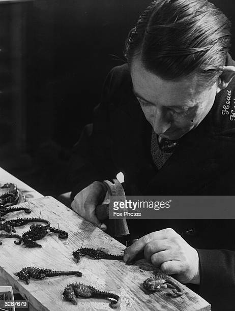 Head keeper F Akhurst makes seahorses into brooches at London Zoo The high attrition rate among seahorses in transit or on arrival at the zoo has...