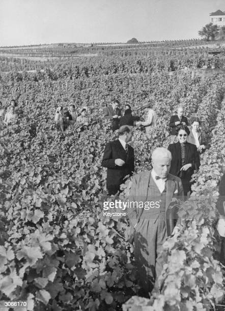 Film star Charlie Chaplin walking through a vineyard at Villette near Lausanne As a newcomer to the vicinity he was invited by the locals to attend...