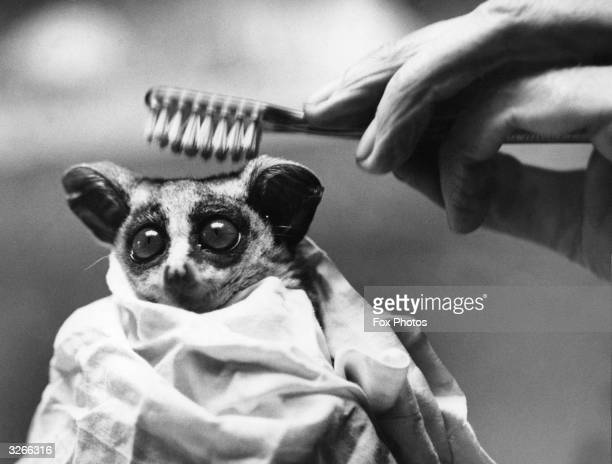 Wilfred the South African BushBaby at the London Zoo looks terrified as his keeper combs him with a toothbrush