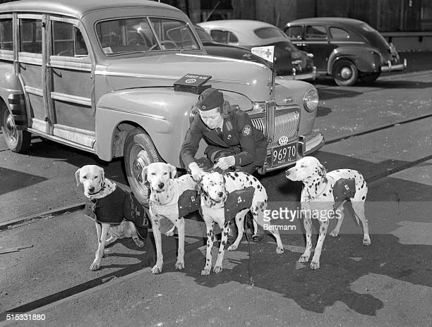 9/13/1942Boston MA Brought to the scene of a fire in a station wagon four of the Boston Fire Department's Dalmation Mascots are shown about to go...