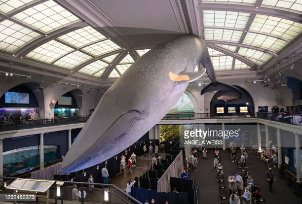 Foot-long model of a blue whale hangs above a new vaccination site at the American Museum of Natural History on April 23, 2021 in New York City. -...