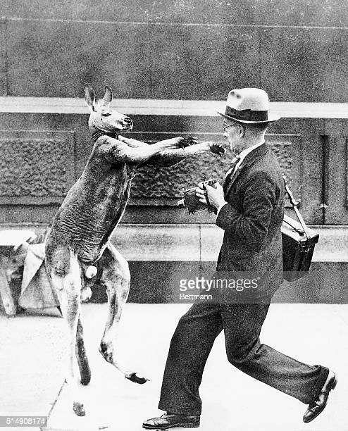 9/8/1931London England A stirring boxing match took place right in Trafalgar Square London when a pet kangaroo named Aussie escaped from a young lady...