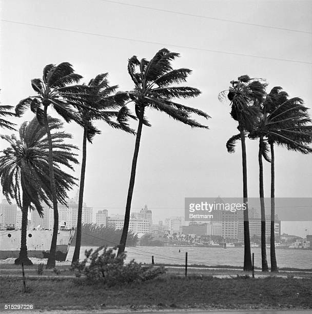 9/9/1960Miami FLThe skyline of Miami is shown behind a row of palms that are being raked by 50 mph winds as Hurricane Donna makes her way towards...