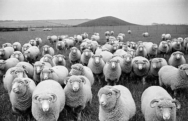 Sheep's Eyes Wall Art