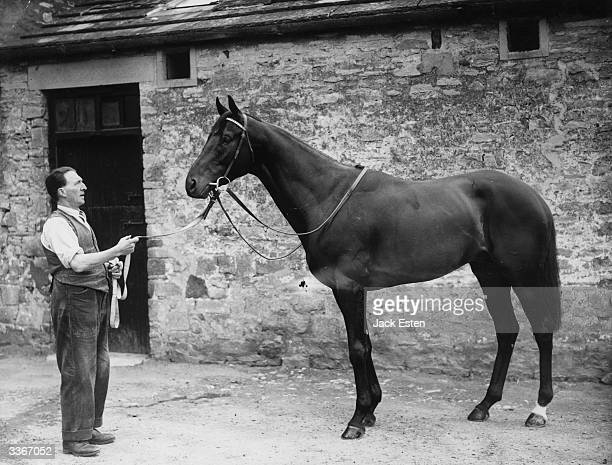 Racehorse trainer Matthew Peacock preparing Dante for the 1945 Derby at the Manor House training centre in Middleham Yorkshire Dante went on to win...