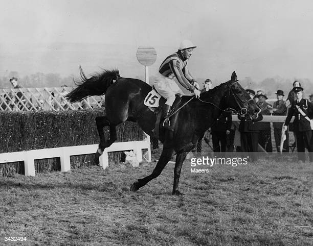 National Hunt jockey Fred Winter on 'Saffron Tartan' taking the last fence of the Cheltenham Gold Cup which he went on to win