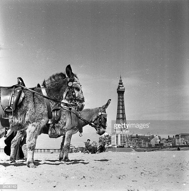 Donkey rides for holidaymakers at Blackpool seaside resort in Lancashire Blackpool Tower is in the background