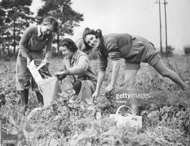 Three salesgirls from Bourne and Hollingsworth department store London are auxiliary members of the Womens Land Army They are helping in the picking...